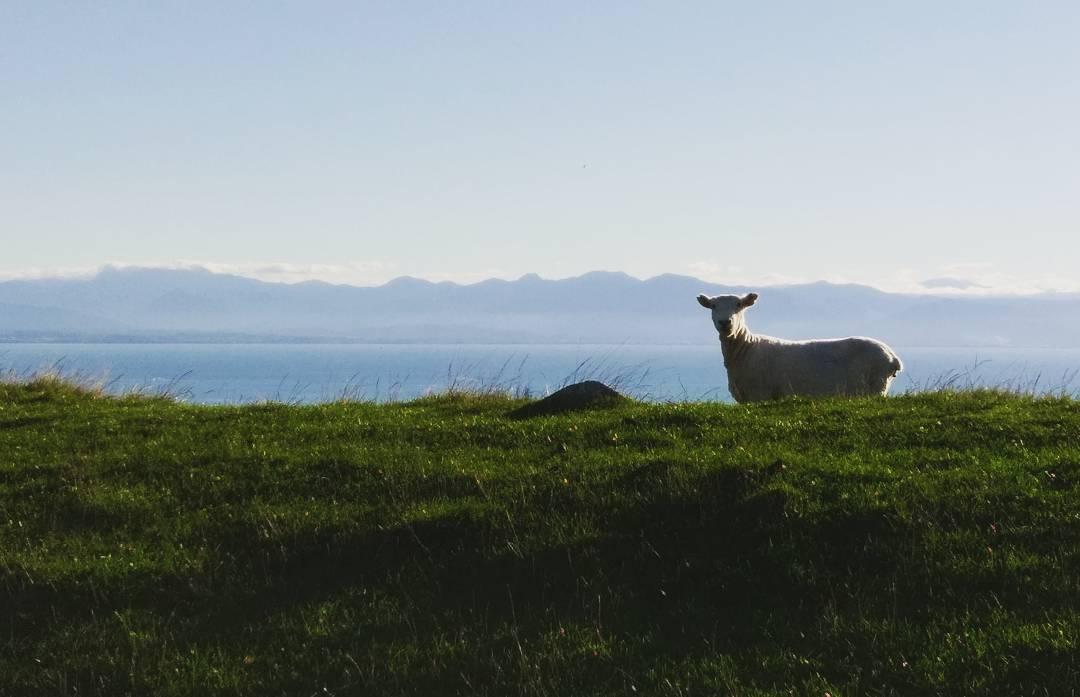 Schaf in Neuseeland